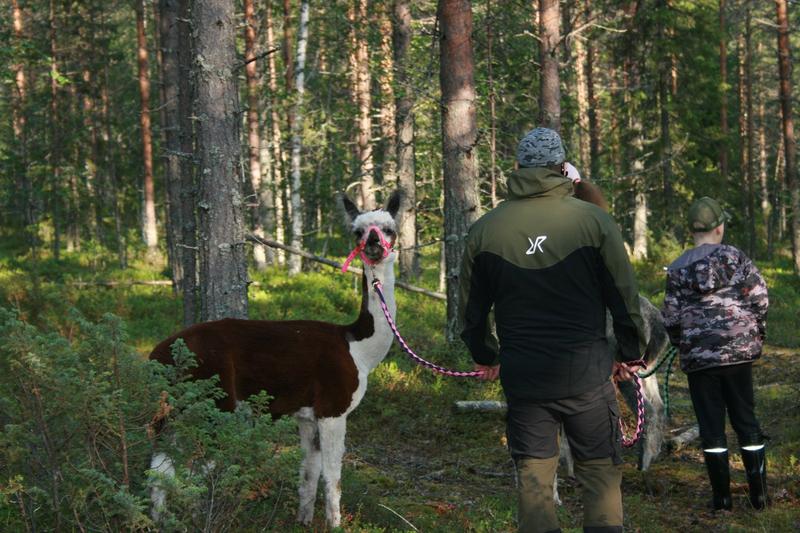 Revontulen alpakat - Alpakoiden talutus