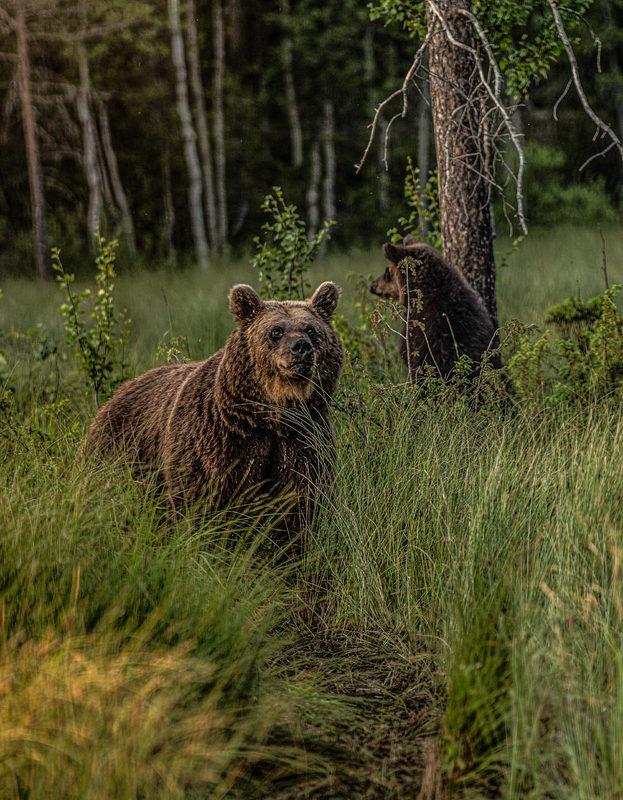 Karhujen kuvausreissu Kuusamoon