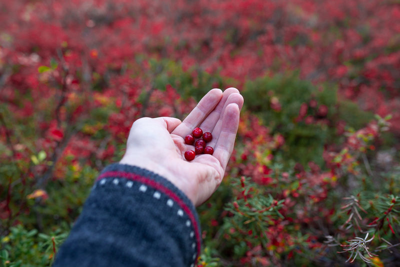 Berry Picking in Nuuksio National Park