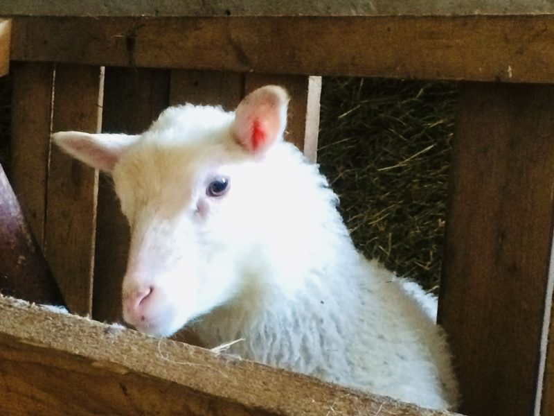 Pehmoiset ja kiltit lampaat.