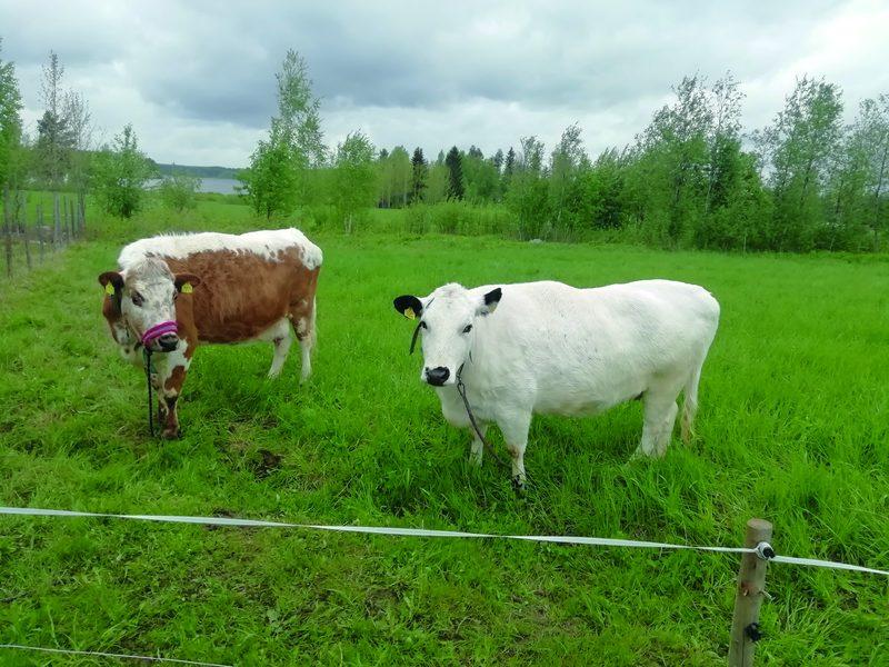 Valkoinen maito tulee lehmästä.