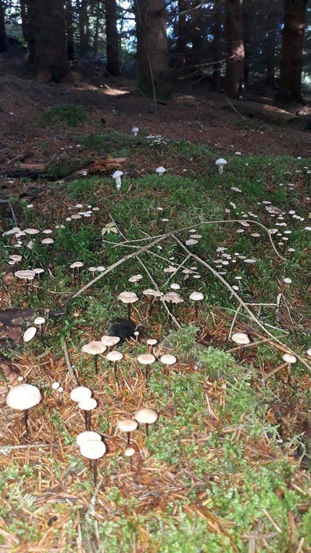 Sieniä - Maahan tippuneeseen kuusenneulaseen kesällä kasvaa pieni valkoinen sieni. Joka edesauttaa neulasten lahoamista ja omaa ekosysteemiään.
