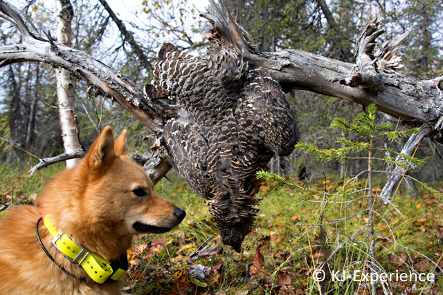 Koiran tuonti Suomeen ja vienti Ruotsiin