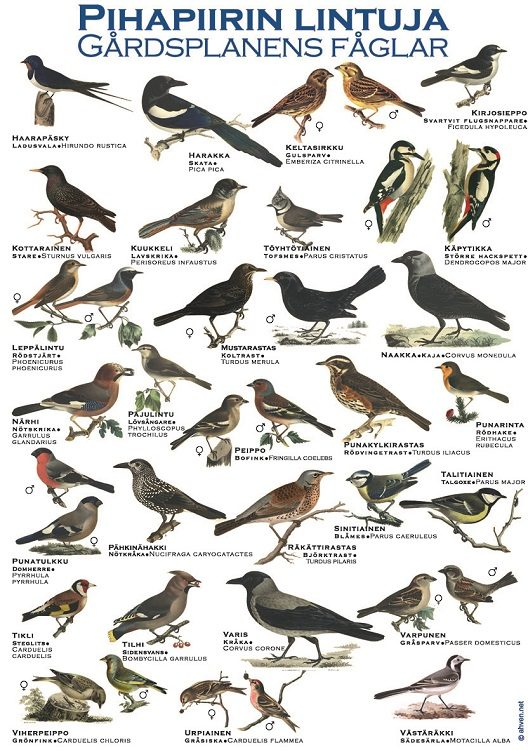 Pihapiirin lintuja -juliste