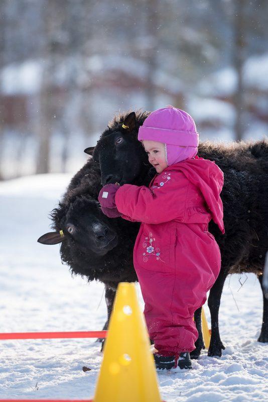 Lampaita pääsee halailemaan