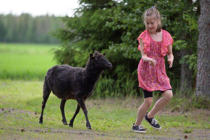 Lampaiden kanssa touhuamista