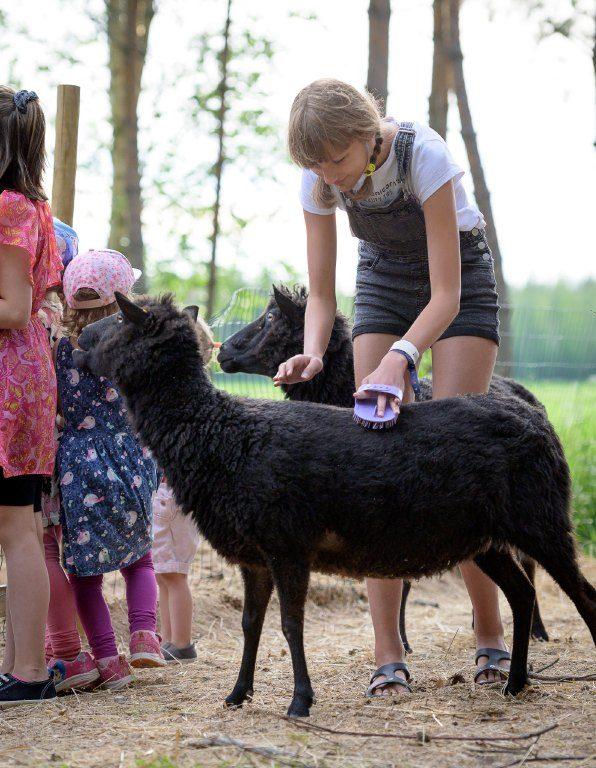 Lapset harjailemassa lampaita