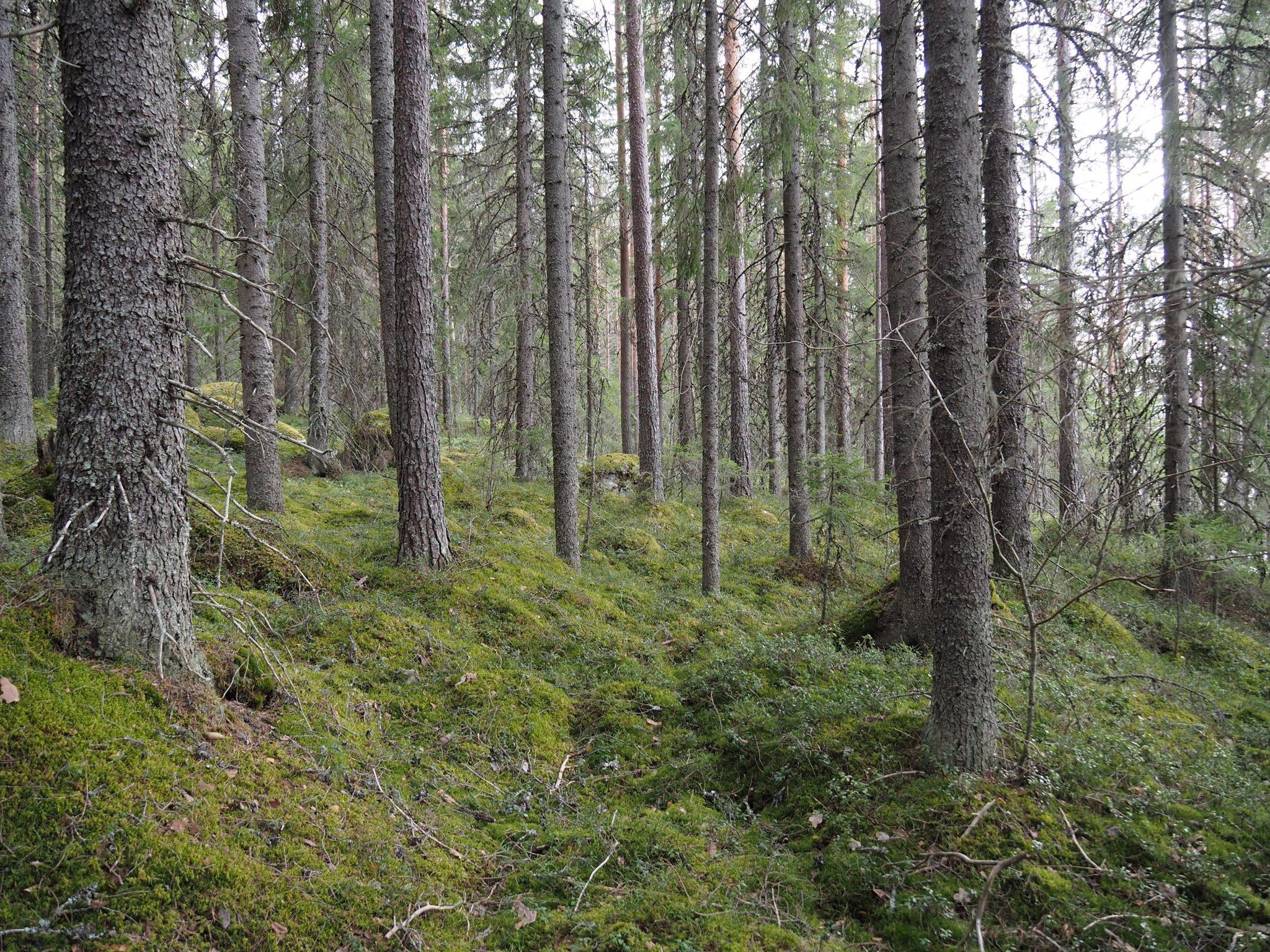 Ensi kesänä Pihlaisilla kiivetään puuhun