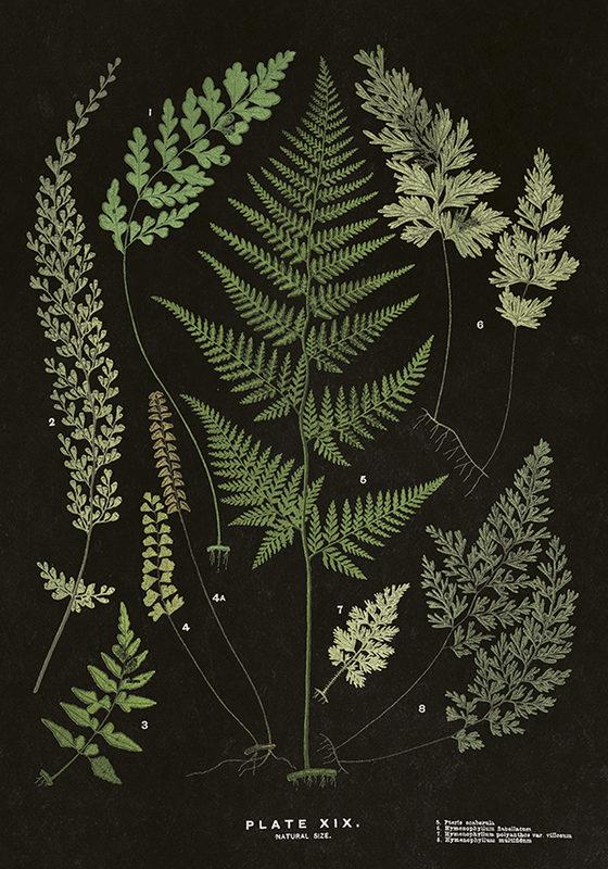 Juliste, mustapohjainen saniaiset, 50 x 70 cm