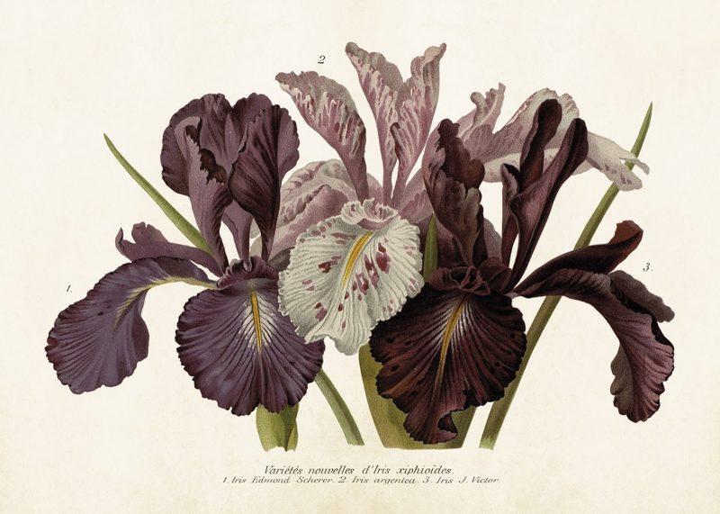 Juliste, violettti iiris, 50 x 50 cm