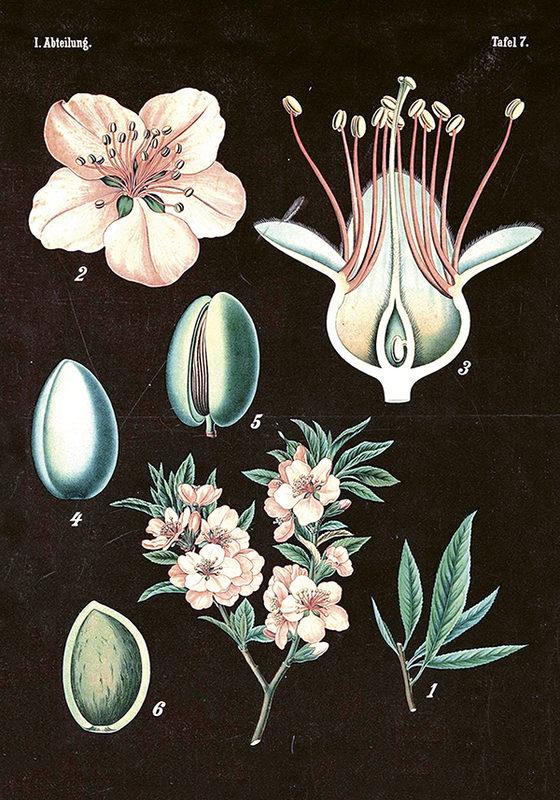 Vintagejuliste, mustapohjainen vaaleanpunainen kukka 35 x 50 cm