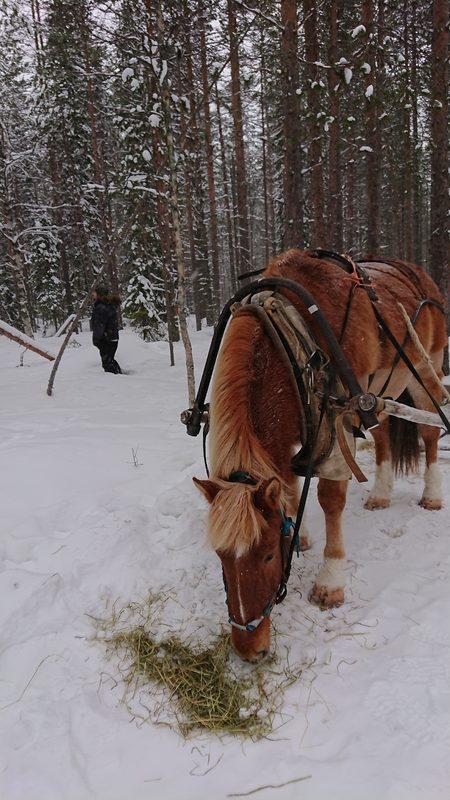 """Liimatan Linus  - 9-vuotias suomenhevonen Tallimme """"märkäkorva"""" joka muutti talliimme vasta vuosi sitten. Sen jälkeen olemme harjoitelleet yhteistä eloa ja oloa ahkerasti. Linuksen työuraa on aloitettu pikkuhiljaa jossa toimii jo hyvin.  Linus on luonteeltaan vakaa ja määrätietoinen ja on vahvasti se """"Tiken hevonen"""""""