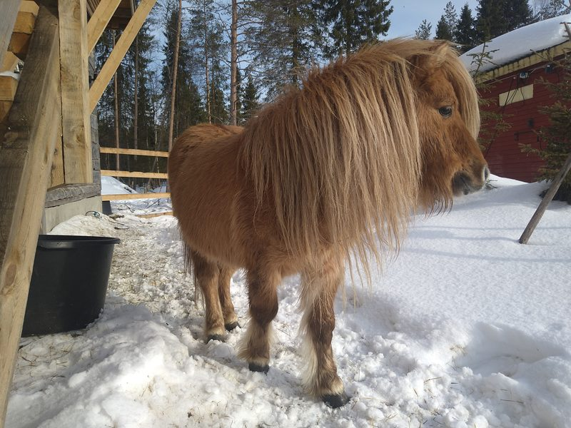 Grote Pieter v.d. Pony Lust (In memoriam)