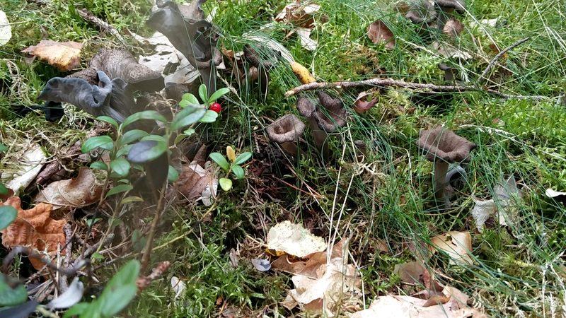 Metsän makuja - Nuuksion pohjoisen portin sieni- ja marjaretki