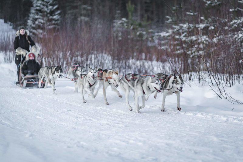 Koiravaljakko matkalla - Huskyt ovat innokkaita juoksemaan
