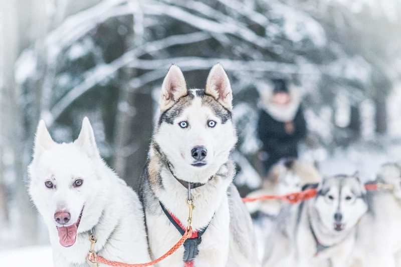 Koirien vetämässä reessä talviluonnossa - Pienryhmässä luontoonkoiravaljakkojen vetämässä reessä.