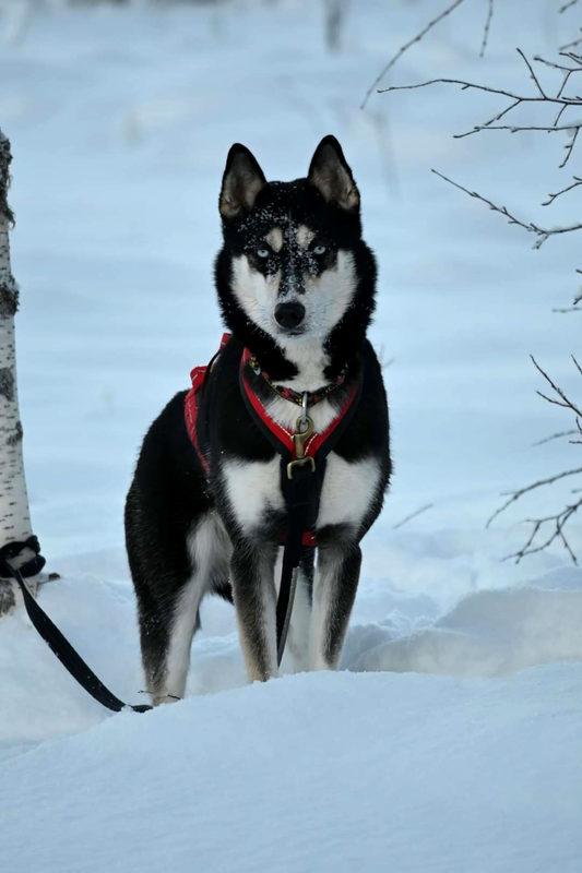Esittelyssä Sansa - Tässä on yksi Sawo Huskyn 24 siperian huskysta nimeltään Sansa.