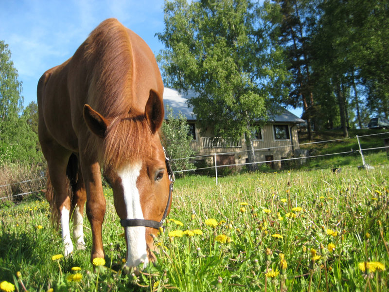 Naaranlahden hevoset - Naaranlahden tilalla on suomenhevosia, joilla halutessaan pääsee myös ratsastusretkelle ja sen jälkeen uittamaan hevoset.