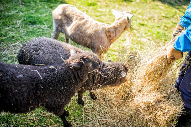 Kotieläinpiha Hepokatin lampaat - Maatilalla pääset tutustuamaan maatilan eläimiin ja töihin keskellä suomalaista peltomaisemaa. Kuva: Hepokatin kotieläinpiha