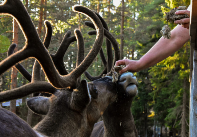 Gift Card: Family ticket to Nuuksio Reindeer Park