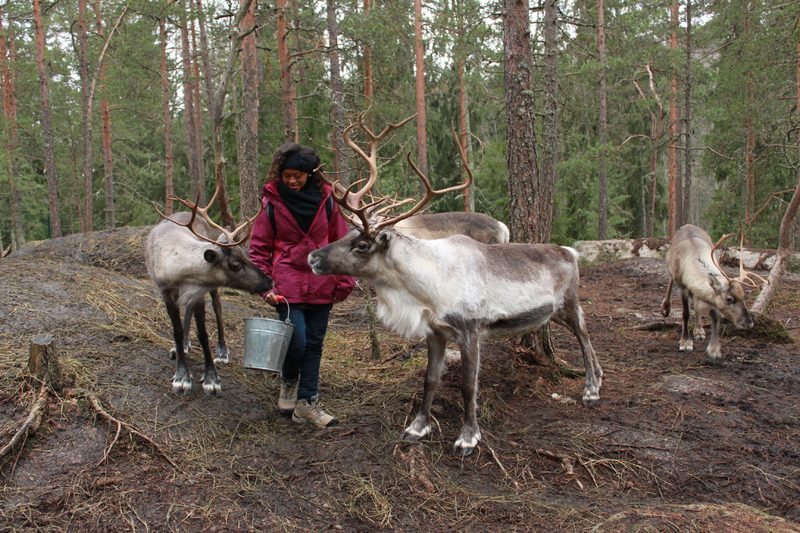 Reindeers' evening feeding together with the reindeer herder