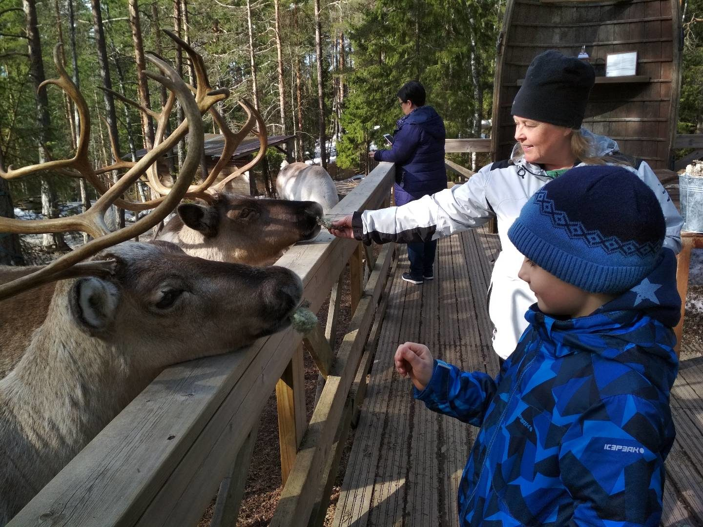 Reindeer feeding - Our tame reindeer love to eat lichen :)