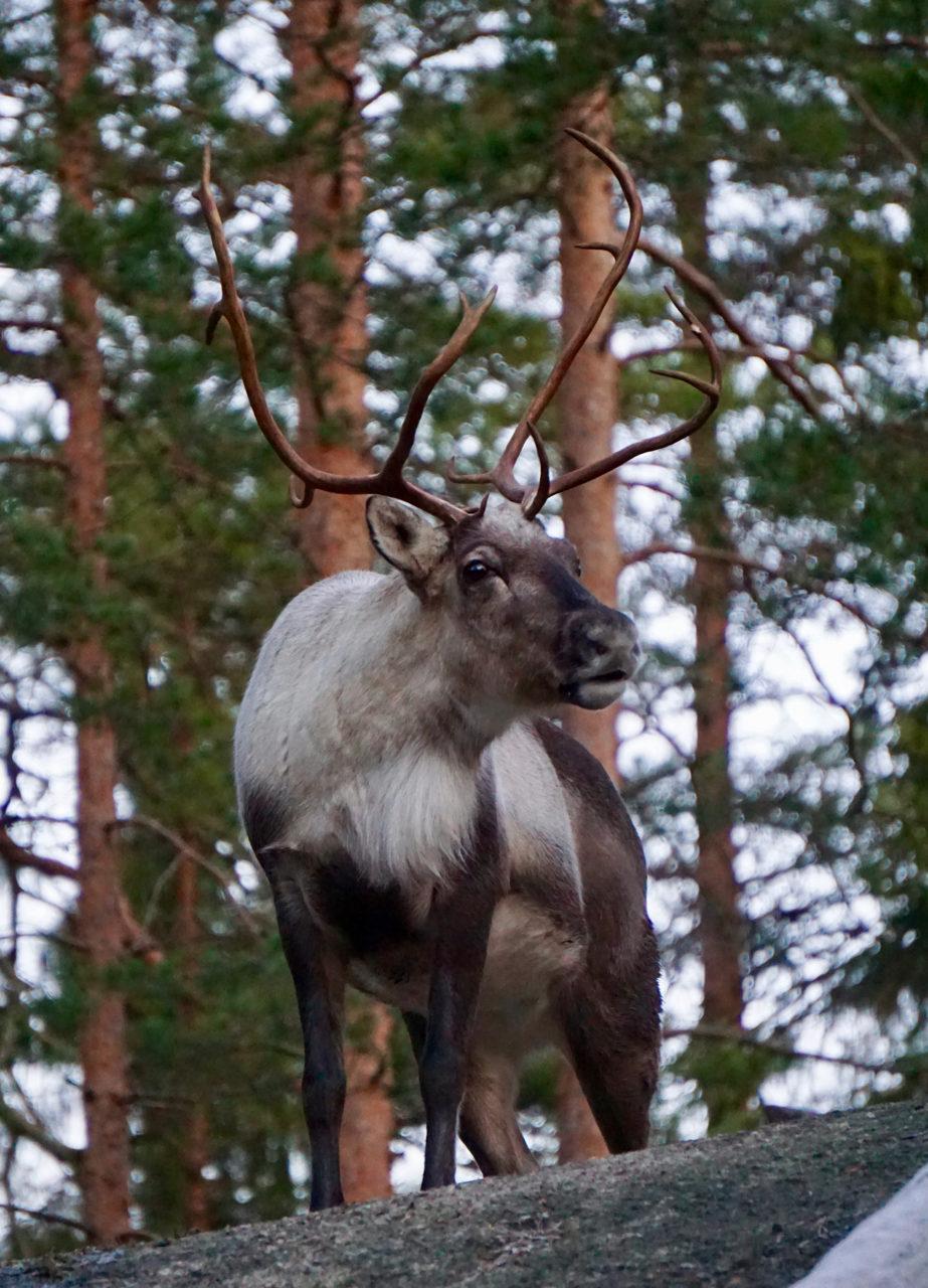 Visits to Nuuksio Reindeer Park