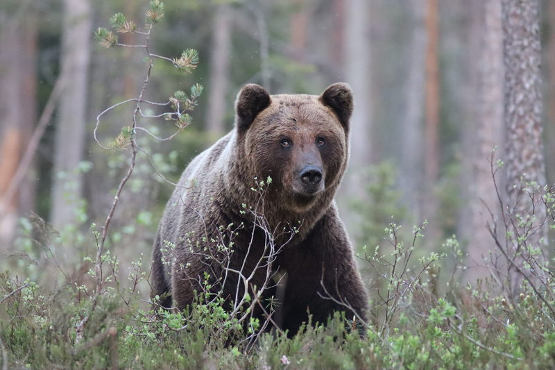 Bear watching day trip in Northern Finland