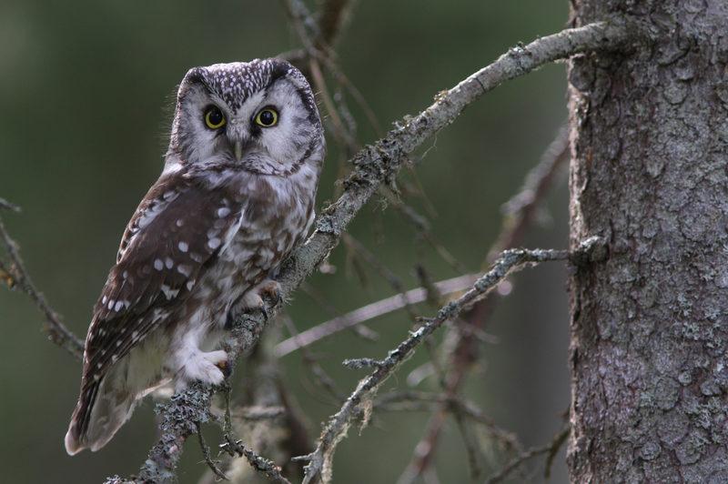 Taikapolku linturetket - Pöllöt kiehtovat. Salaperäiset öiden asukit näyttäytyvät harvoin, joten kovin moni ei ole päässyt tutustumaan niihin tarkemmin. Taikapolku järjestää myös keväisiä pöllöretkiä.