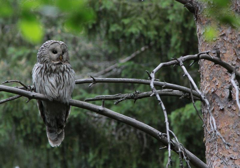 Taikapolku linturetket - Kesäisin pesinnät pitävät pöllöemot kiireisinä. Taikapolun linturetkillä voi voivat kurkistamaan pikaisesti pöllöjen kotielämään.