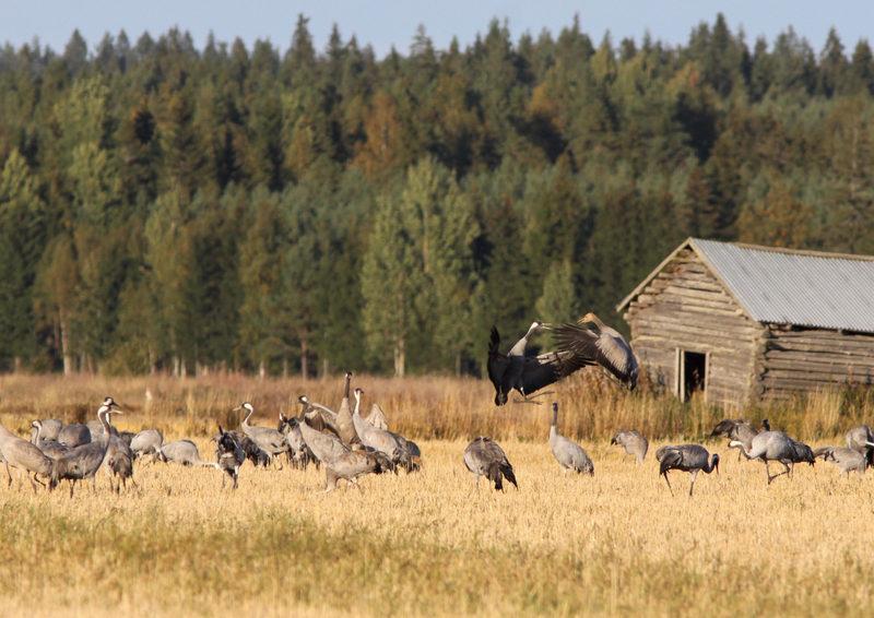 Taikapolku linturetket - Syksyillä pelloilla liikkuu paljon muuttomatkalle valmistuvia lintuja. Suuret kurkiparvet luovat syksyyn hienon tunnelman uljaalla olemuksellaan ja hienoilla äänillään.