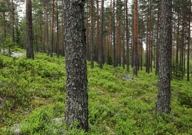 Taikapolku Susiluolan varjoissa - Taikapolku retkellä voidaan nauttia luonnosta monessa muodossa. Susivuoren rinteillä on hyviä mustikkapaikkoja.