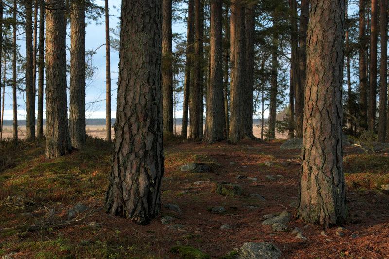 Taikapolku Levanevan pitkoksilla - Levanevan suomaisemaa elävöittävät metsäsaarekkeet, joista löytyy myös vanhoja mäntyjä.