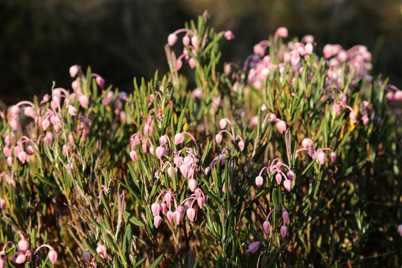 Taikapolku Levanevan pitkoksilla - Levanevan suokasvillisuus tarjoaa paljon hienoja yksityiskohtia ja maukkaita makuja Taikapolun retkillä pitkoksille.