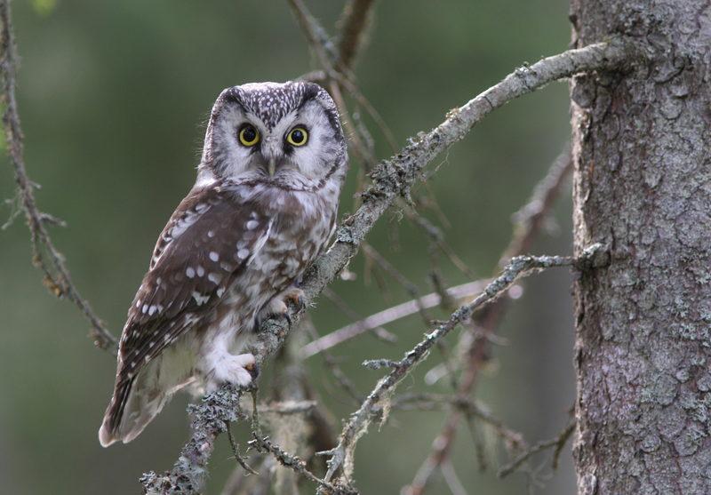Pöllömetsä voi olla Taikapolun lintupaikkana - Keväisin ja syksyisin pöllömetsät ovat täynnä elämää. Joskus pöllömetsä voi osua myös lintupaikkojen kierrokselle.