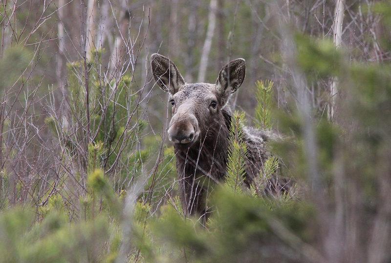 Taikapolku hirvien poluilla - Lauhanvuoren kansallispuiston poluilla liikkuvat metsäpeurojen lisäksi myös uljaat hirvet. Eläimiä on vaikea päästä näkemään, mutta eläinten jälkiä löytyy luonnosta runsaasti myös karuilta kankailta.