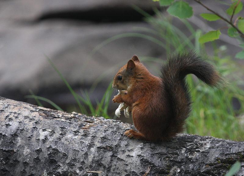 Taikapolun kätköt - Monet eläimet valmistautuvat talveen huolella. Osa syö itsensä tukevaan kuntoon, kun toiset eläimet tekevät talveksi hyvät varastot. Metsäpeuran poluilta voi löytää merkkejä eläinten valmistautumisesta talveen.