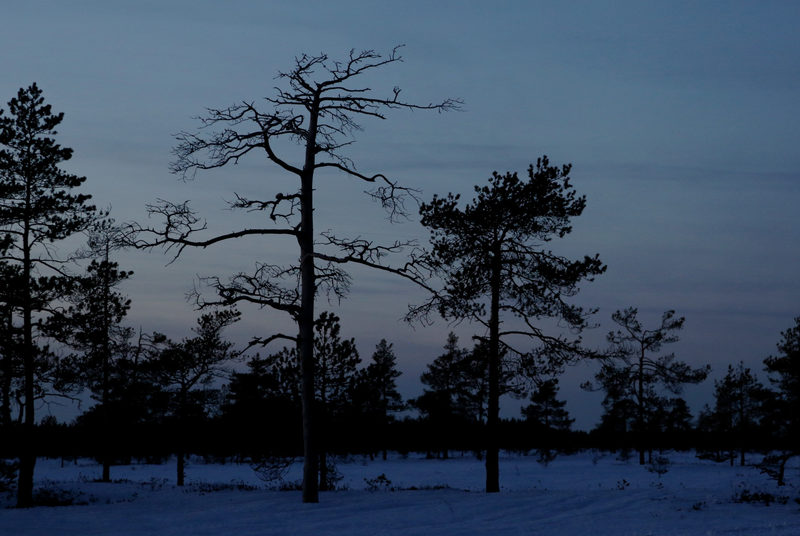 Suurten soiden hiljaisuutta - Suuret suot ovat helmikuussa varsin hiljaisia, mutta kevääseen heräävä kettu tai pöllö voi ilmoittaa läsnäolostaan.