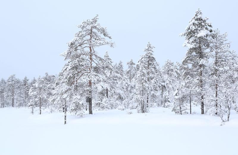 Lauhanvuoren kankailta suon laidoille - Lauhanvuoren kansallispuiston mäntykankaat muuttuvat alempana soiksi. Talvella jäisillä soilla on helppo liikkua lumikengillä.