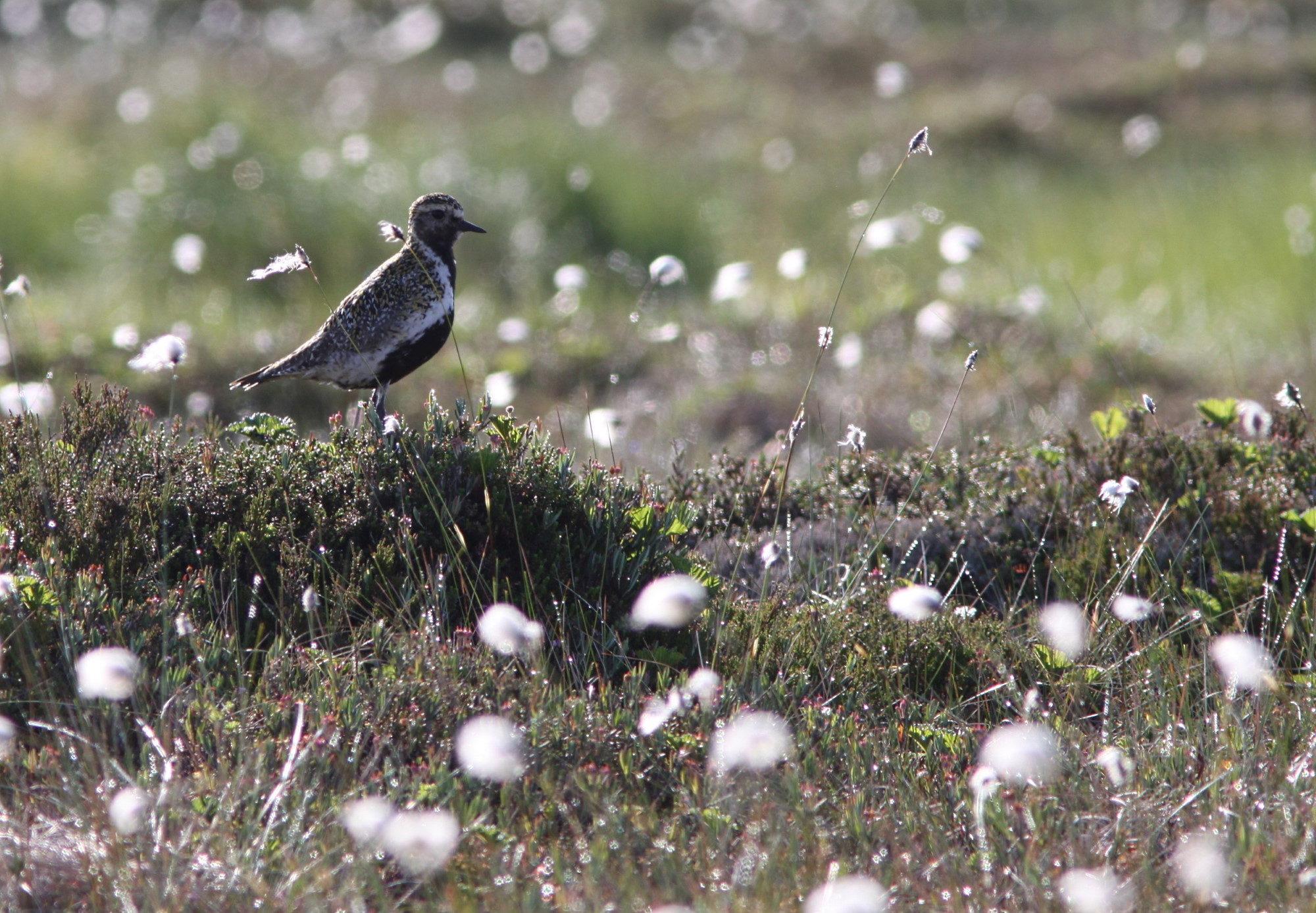 Taikapolkun lintupaikat soilla ja nevoilla - Suuret erämaiset suot ovat kesäisin täynnä elämää. Parhailla soilla linnut ovat pääosissa ja etenkin aamuisin tunnelma on vahva.