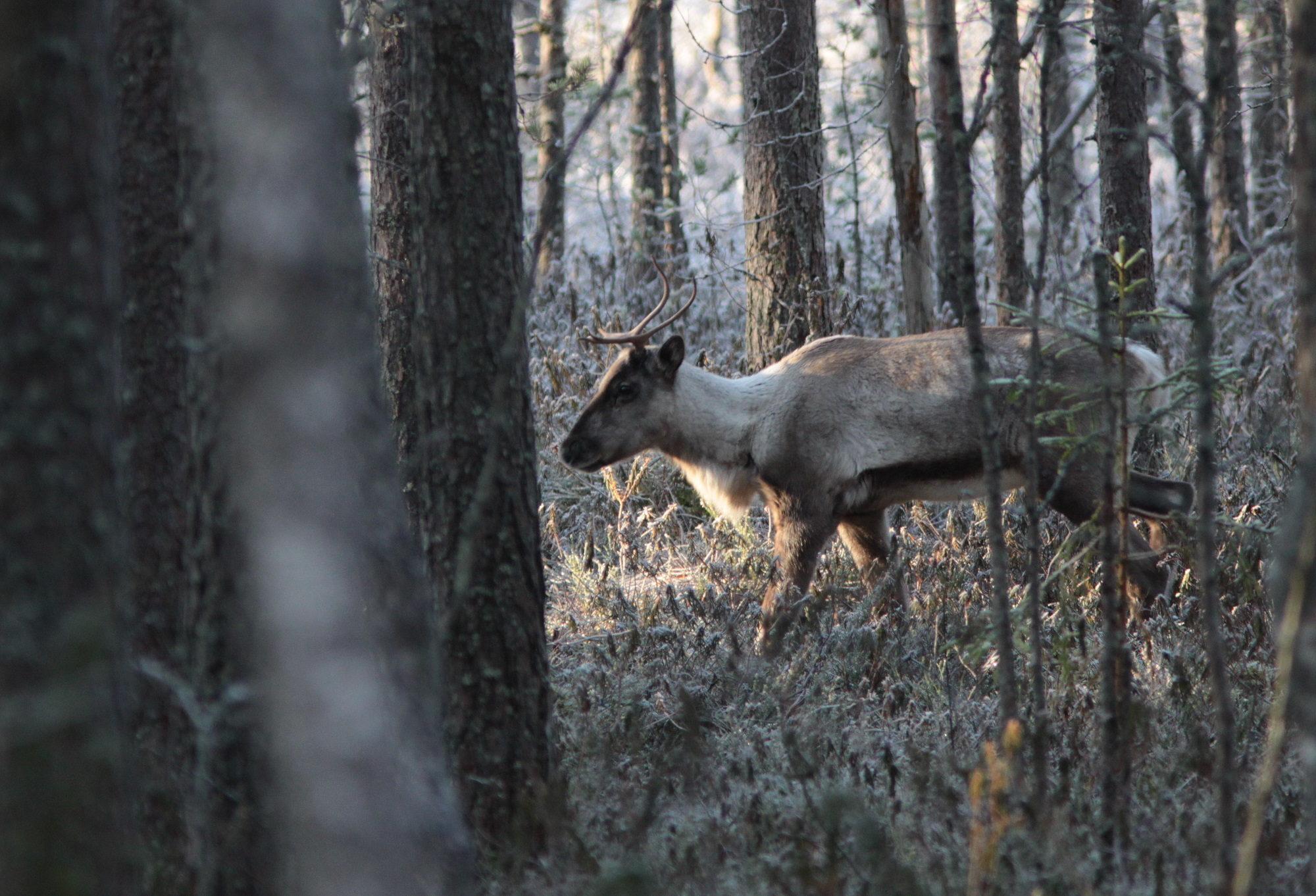Taikapolku metsäpeuran poluilla - Metsäpeuran poluilla liikutaan Lauhanvuoren kansallispuiston maisemissa samoilla poluilla metsäpeurojen kanssa.