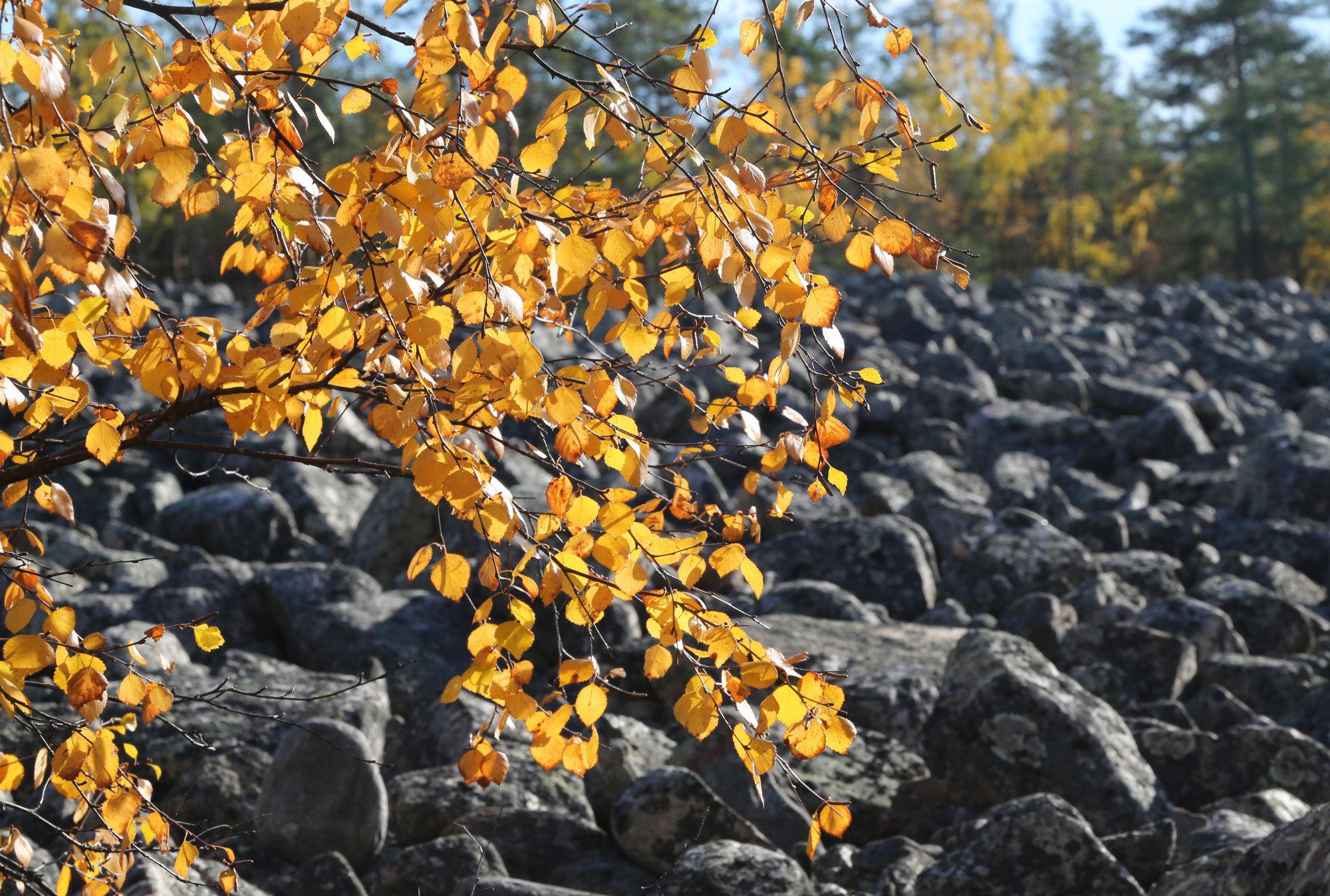 Lauhanvuoren syksyinen kivipelto - Taikapolun Lauhan klassikko tutustuttaa Lauhanvuoren kansallispuiston Kivijataan.