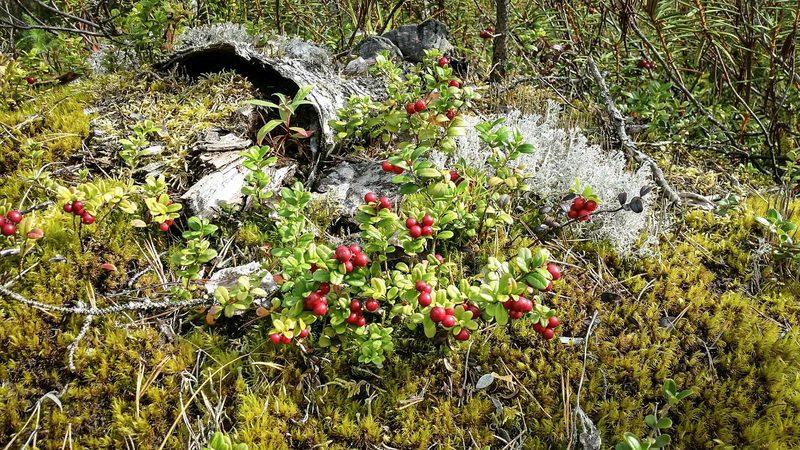 Marjastus ja sienestys