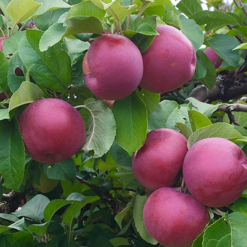 Alitalo Apple Farm