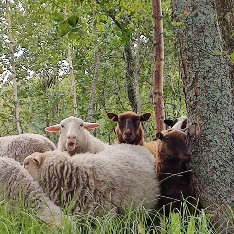 Niemi-Erkkilän Lammastila, Lohtaja, Kokkola