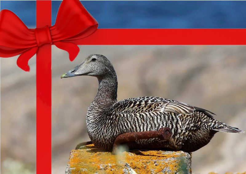 Gift card eider duck safari