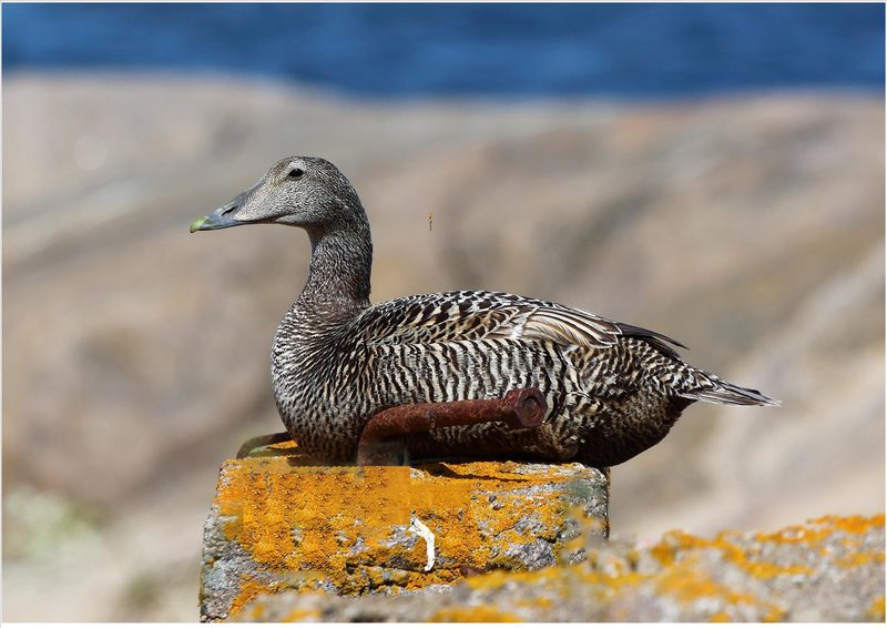Eider duck safari - Spring tour to Bengtskär lighthouse - May 2021, child 3-12 yrs